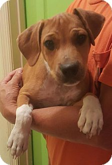 Jack Russell Terrier Mix Dog for adoption in West Palm Beach, Florida - Banjo