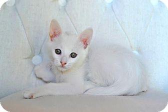 Domestic Shorthair Kitten for adoption in Savannah, Georgia - Alaska