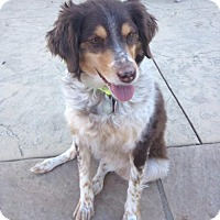 Adopt A Pet :: CO/Anna Belle (ADOPTION PENDING) - Seattle, WA