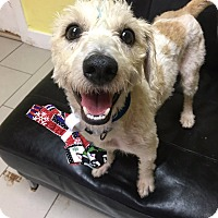 Maltese/Terrier (Unknown Type, Medium) Mix Dog for adoption in Philadelphia, Pennsylvania - Pongo