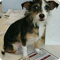 Adopt A Pet :: Rossi - North Las Vegas, NV