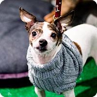 Adopt A Pet :: Whisper! - New York, NY