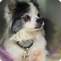 Adopt A Pet :: Peachy - Whitehall, PA