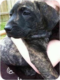 Black Mouth Cur Mix Dog for adoption in Humble, Texas - Margaret's ...
