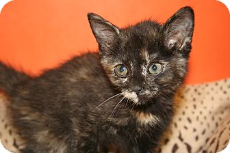 Domestic Shorthair Kitten for adoption in SILVER SPRING, Maryland - CELESTE
