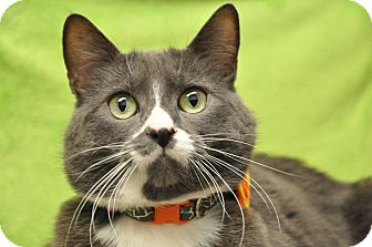 Domestic Shorthair Cat for adoption in Foothill Ranch, California - Lovey