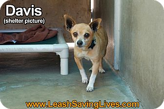 Chihuahua Mix Dog for adoption in Pitt Meadows, British Columbia - Davis