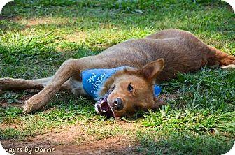 Golden Retriever/Shepherd (Unknown Type) Mix Dog for adoption in Marietta, Georgia - Tripp