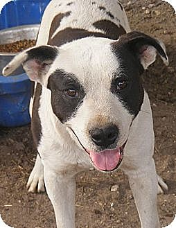 American Bulldog Mix Dog for adoption in Ringoes, New Jersey - Holden