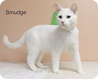 Domestic Shorthair Cat for adoption in Anderson, Indiana - Smidge