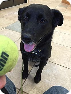 Labrador Retriever Mix Dog for adoption in kennebunkport, Maine - Rudy - in Maine!