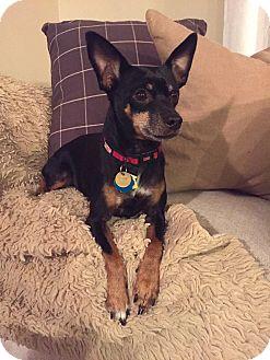 Miniature Pinscher Dog for adoption in Nashville, Tennessee - Mercedes
