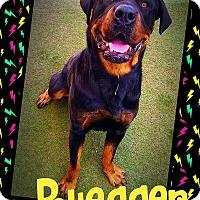 Adopt A Pet :: Ruegger - Henderson, NV