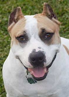 Pit Bull Terrier Mix Dog for adoption in Abbeville, Louisiana - Titus