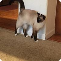Birman Cat for adoption in San Jose, California - Minou