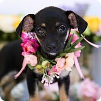 Adopt A Pet :: Bunny - Auburn, CA
