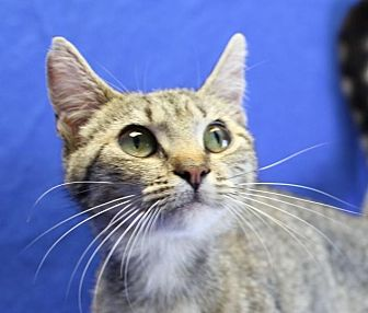 Domestic Shorthair Cat for adoption in Winston-Salem, North Carolina - Maricat