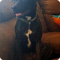 Terrier (Unknown Type, Medium) Mix Puppy for adoption in Tucson, Arizona - Tator