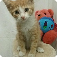 Domestic Shorthair Kitten for adoption in Kendallville, Indiana - Colby