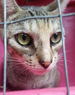 Domestic Shorthair Cat for adoption in Ocala, Florida - Bambi