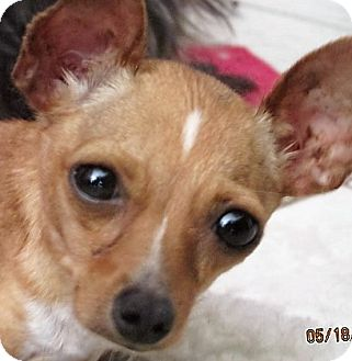 Chihuahua Mix Dog for adoption in Germantown, Maryland - Delaney