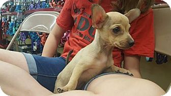 Chihuahua Puppy for adoption in Fresno, California - Mighry Mouse