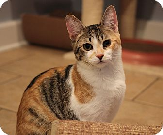 Domestic Shorthair Kitten for adoption in Carlisle, Pennsylvania - Ellie