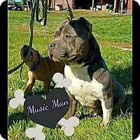 American Pit Bull Terrier Mix Dog for adoption in Des Moines, Iowa - Music Man