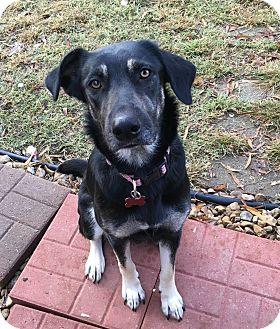Shepherd (Unknown Type)/Labrador Retriever Mix Dog for adoption in Glastonbury, Connecticut - Chrissy