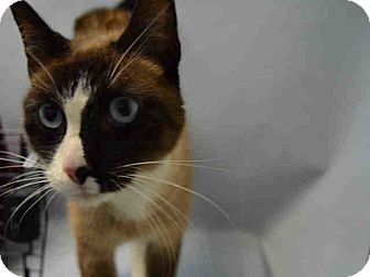Snowshoe Cat for adoption in Hudson, New York - Gold