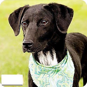 Labrador Retriever Mix Dog for adoption in Encino, California - Otto - Courtesy Post