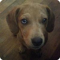 Adopt A Pet :: Artemis - Ponca City, OK