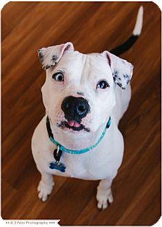 American Pit Bull Terrier Dog for adoption in Edina, Minnesota - Snowie *Deaf* D160954