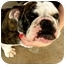 Photo 1 - English Bulldog Dog for adoption in Gilbert, Arizona - Penelope