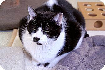 Domestic Shorthair Cat for adoption in Chicago, Illinois - Jack Frost