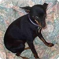 Adopt A Pet :: Penn E. Pinscher - Phoenix, AZ