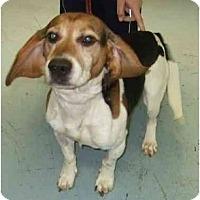 Adopt A Pet :: Hardy - Novi, MI
