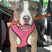 Adopt A Pet :: Candy - nashville, TN