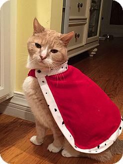 Domestic Shorthair Cat for adoption in Harrison, New York - Luke