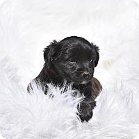 Adopt A Pet :: Ona - Groton, MA