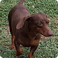 Dachshund Dog for adoption in Rock Hill, South Carolina - Danny Boy