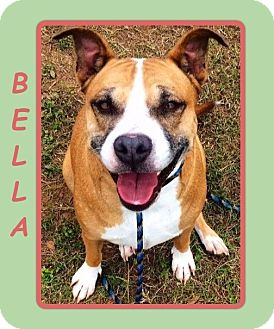 American Staffordshire Terrier/Boxer Mix Dog for adoption in Dallas, North Carolina - BELLA