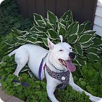 Husky/Labrador Retriever Mix Dog for adoption in Ottawa, Ontario - Dasher