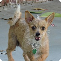Chihuahua/Yorkie, Yorkshire Terrier Mix Puppy for adoption in La Habra Heights, California - Lucy