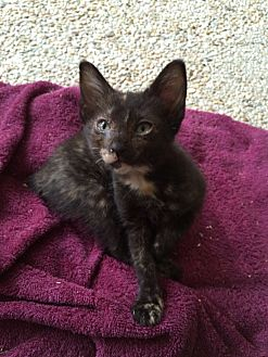 Manx Kitten for adoption in Waggaman, Louisiana - Angel