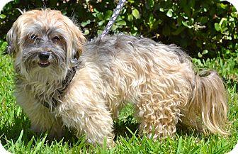 Havanese Dog for adoption in Simi Valley, California - Starla