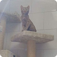 Domestic Shorthair Kitten for adoption in Chippewa Falls, Wisconsin - Kiwi