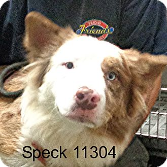 Australian Shepherd/Husky Mix Dog for adoption in Alexandria, Virginia - Speck