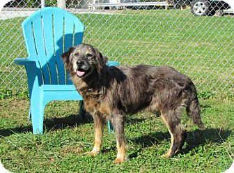 Golden Retriever/Australian Shepherd Mix Dog for adoption in Batavia, Ohio - Randy