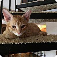 Domestic Shorthair Cat for adoption in Topeka, Kansas - Elliott